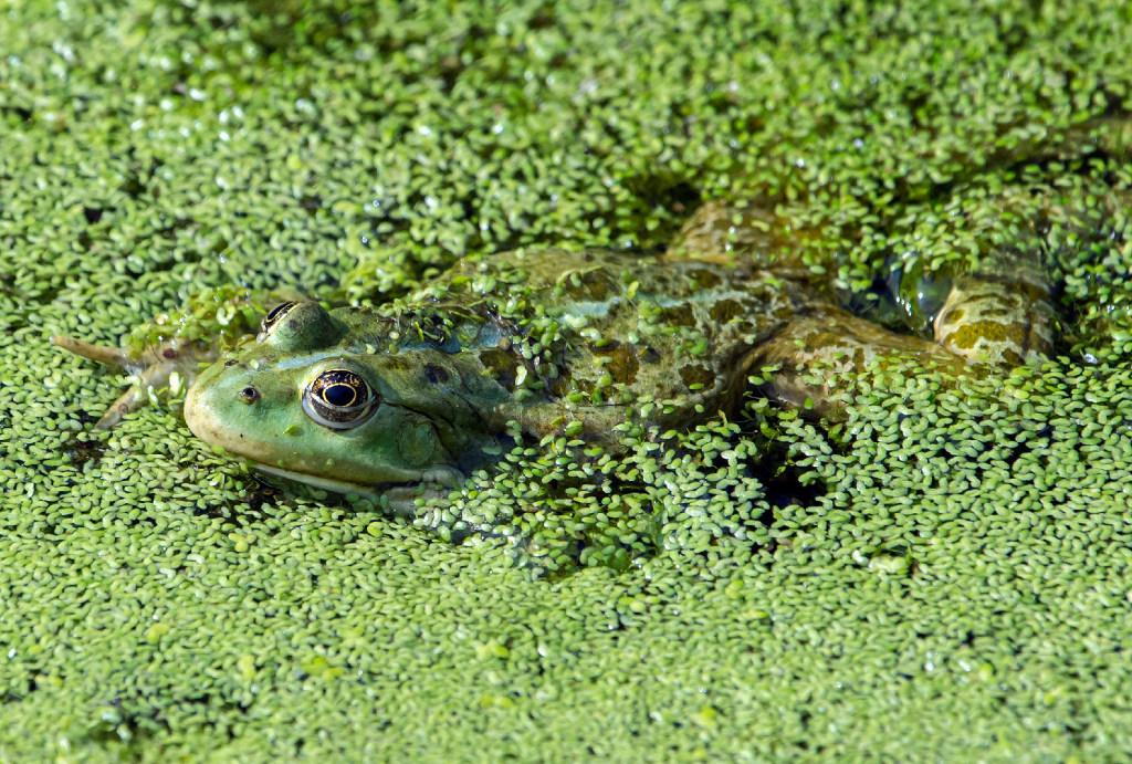 A German frog. Associated Press photo by Jens Meyer